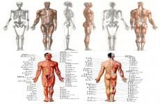 人体骨骼肌肉解剖图